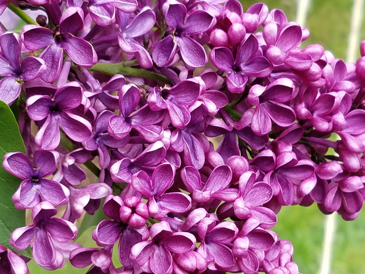 International Lilac Society - up close dark pink lilacs