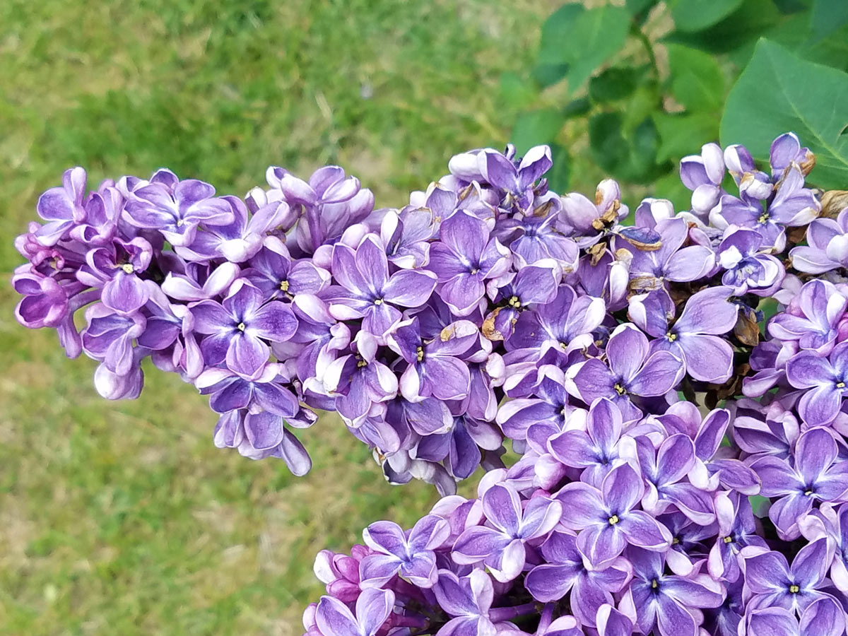 International Lilac Society - purple lilacs