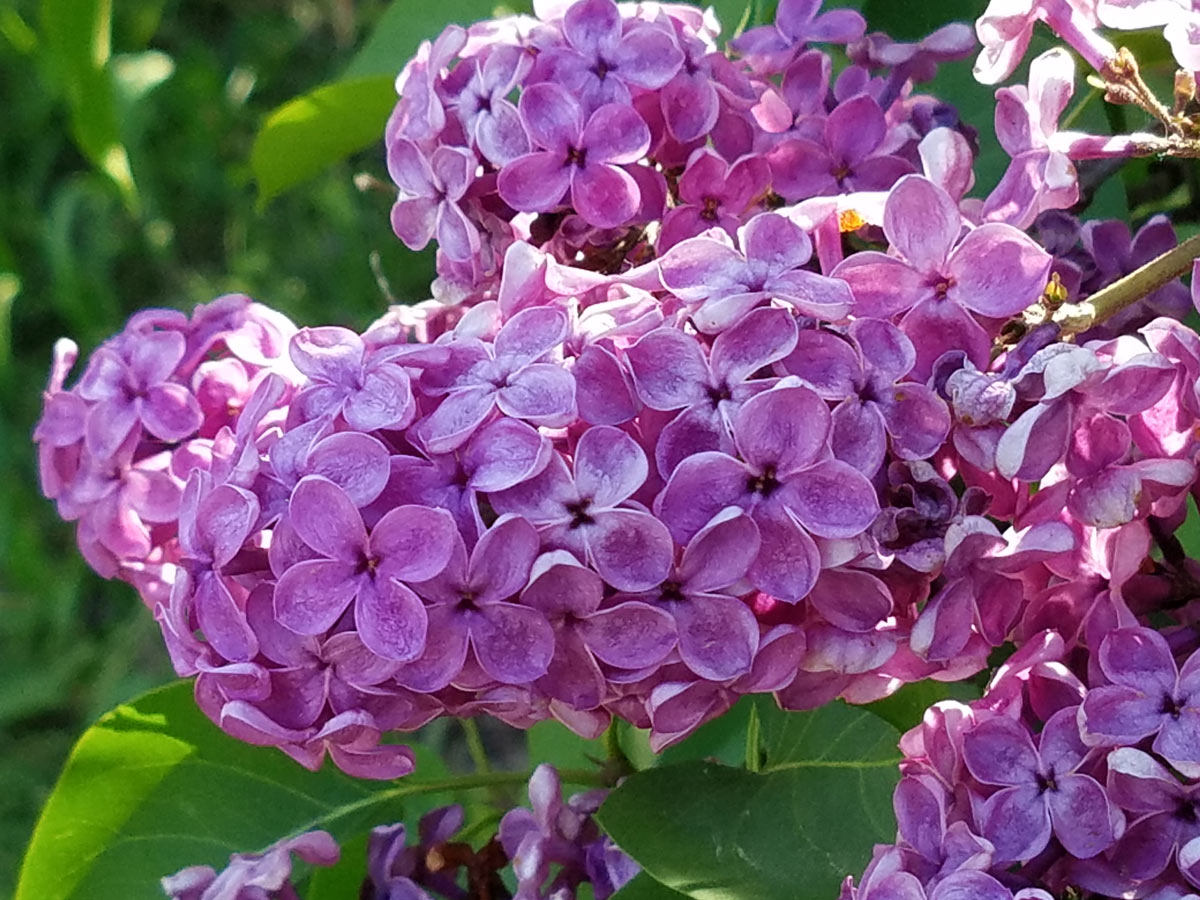 International Lilac Society - dark pink lilacs
