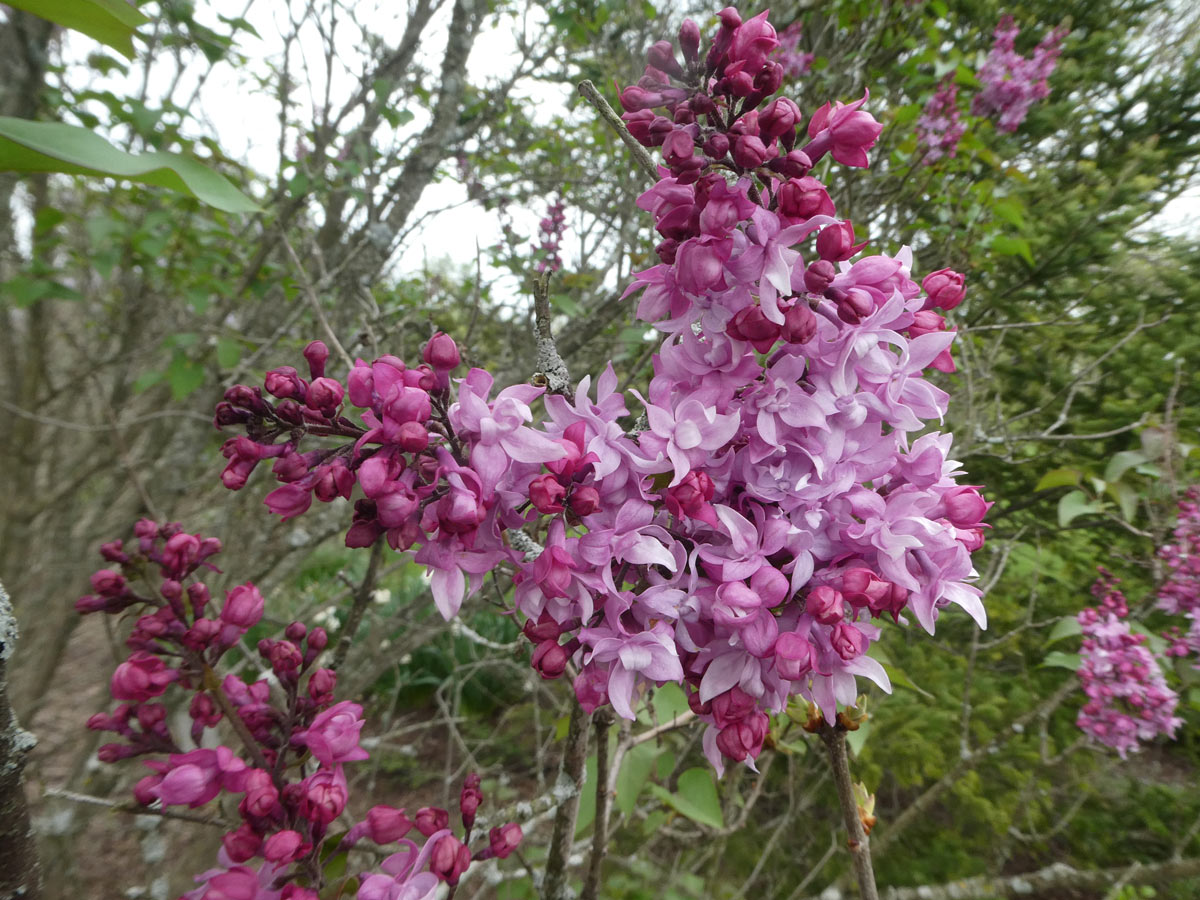 International Lilac Society - dark and light pink lilacs