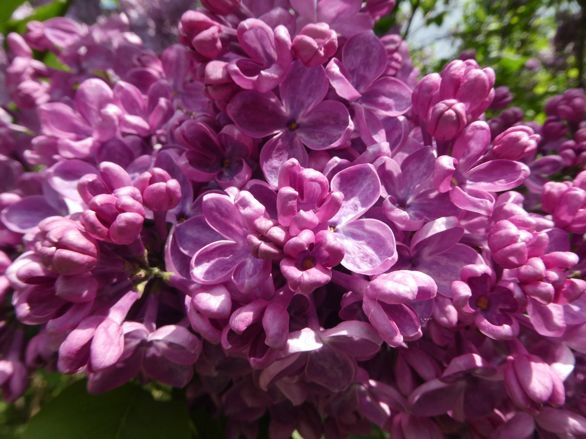 International Lilac Society - pink lilacs