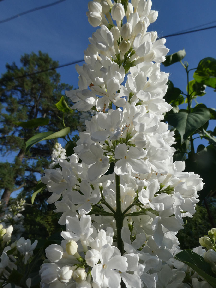 International Lilac Society - tall white lilacs