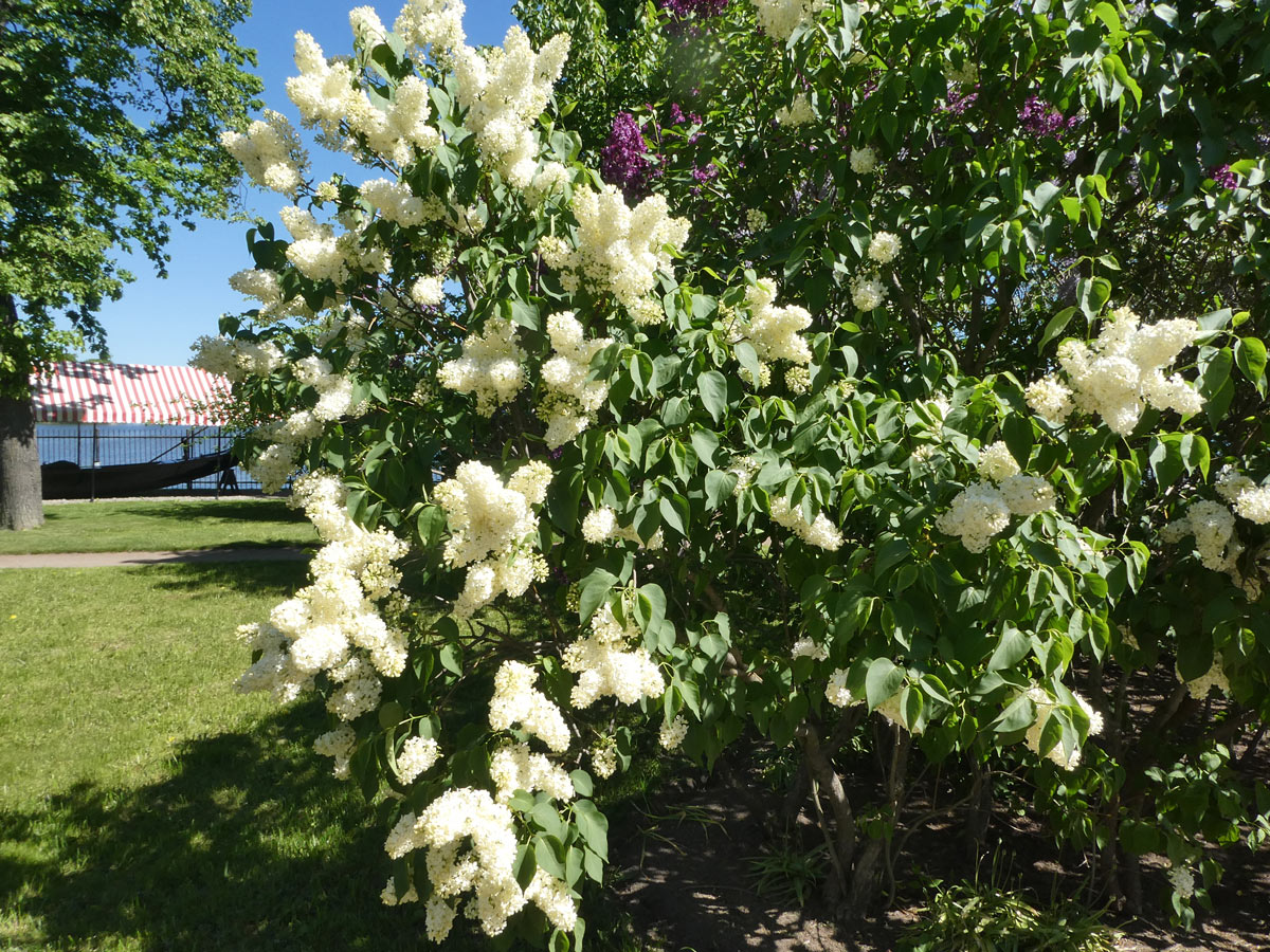 International Lilac Society - white lilacs