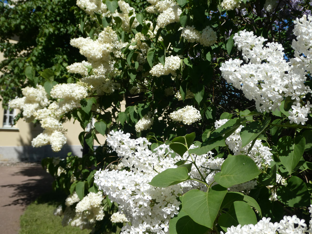 International Lilac Society - small white lilacs