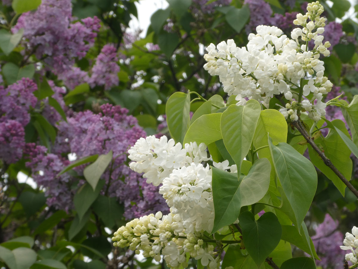 International Lilac Society - purple and white lilacs